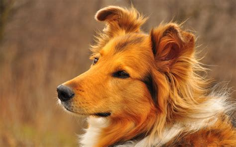 pichers of dogs collie wallpapers and images wallpapers pictures photos