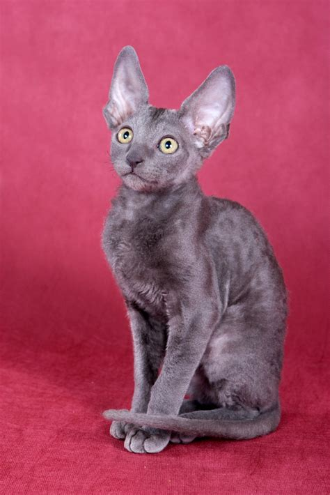 Cats And Shedding by Cornish Rex Petsecure