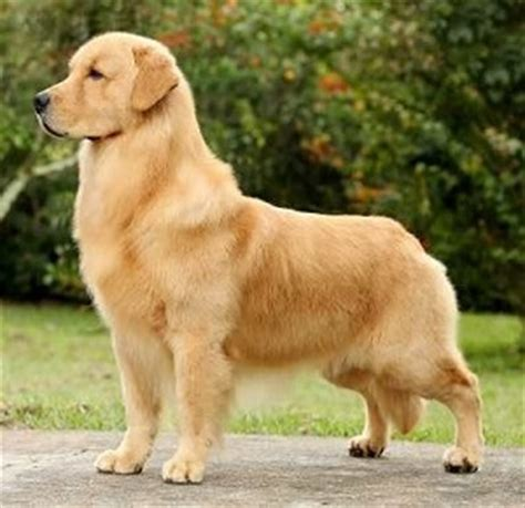 can golden retrievers be guard dogs sporting breeds karma s rottweilers