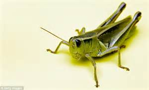 Would You Eat This Grasshopper Snack by Would You Eat Fried Alligator At The Blue Kitchen Or