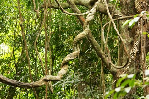 rainforest vines photo
