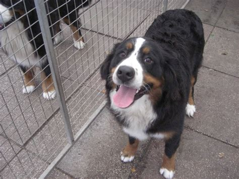bernese mountain dogs for sale bernese mountain dogs for sale congleton cheshire pets4homes