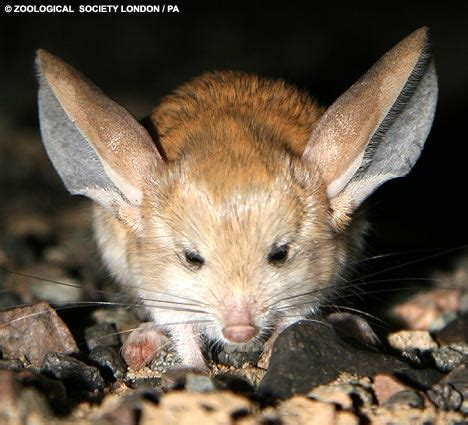 Eared Jerboa Endangered by Rodent With Ears Bigger Than Its Is On