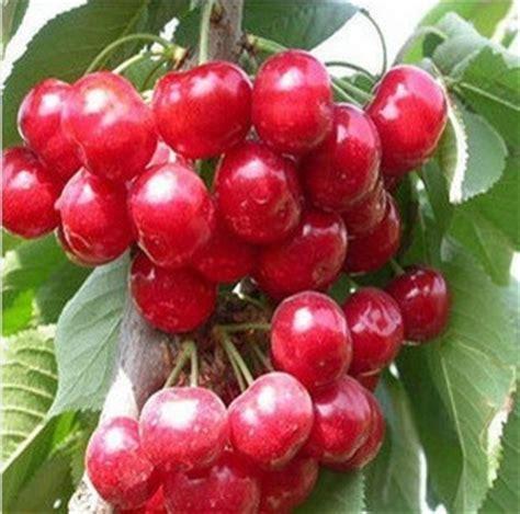 free shiping bonsai14 berbagai jenis 420pcs lot buah ceri