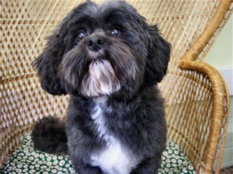 shih tzu poodle mix haircut shih tzu poodle mix haircuts search results hairstyle galleries