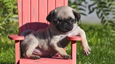 what problems do pugs where can you find cheap pugs for sale reference