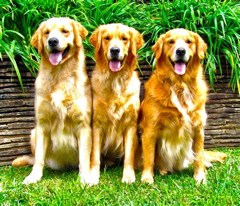 new golden retrievers new golden retriever puppy wallpaper