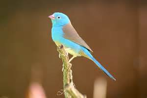 blue headed cordon bleu blue capped finches for sale