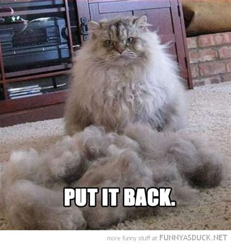 17 best images about cats with silly hair on pinterest