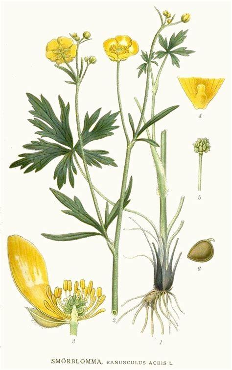 ranunculus acris ranuncolo comune piante magiche