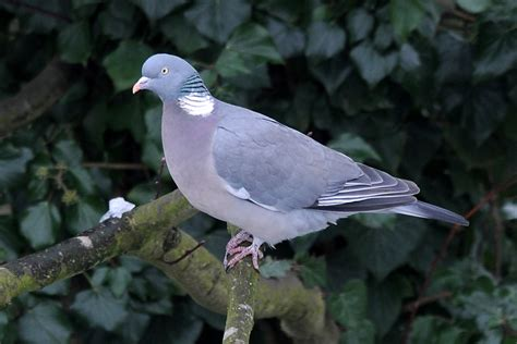 Pigeon 2 Pa pigeon sparks house in stockwell by dropping lit cigarette metro news
