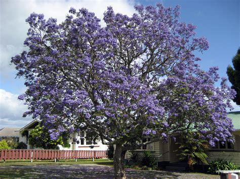imagenes de flores jacaranda jacaranda mimosifolia wikipedia la enciclopedia libre