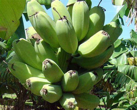 musa truly tiny banana from agristarts musa cardaba banana from agristarts