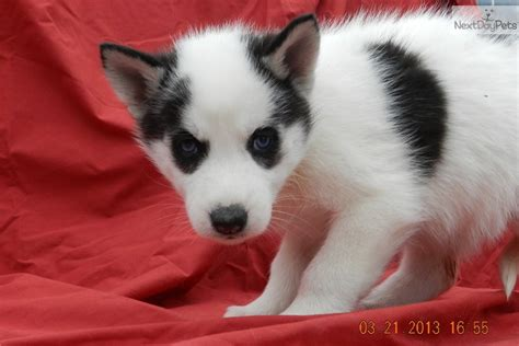husky puppies for sale in mo siberian husky puppies for sale dogsnow motorcycle review and galleries