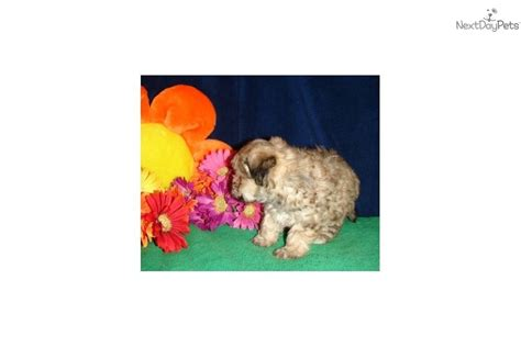 yorkie poo rescue va this yorkie poo is a handsome alert boy breeds picture