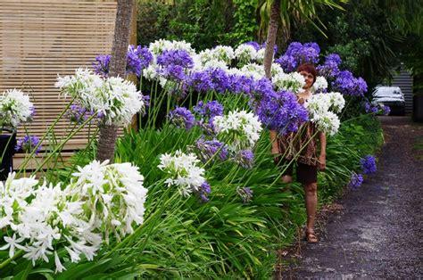 fiore agapanthus agapanthus agapanthus bulbi come coltivare agapanthus