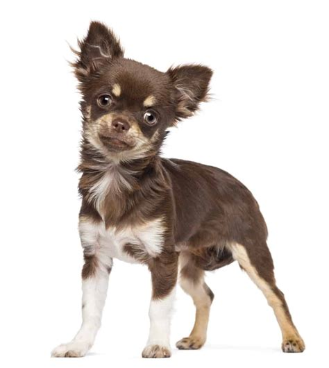 how many puppies does a chihuahua chihuahua puppy tips