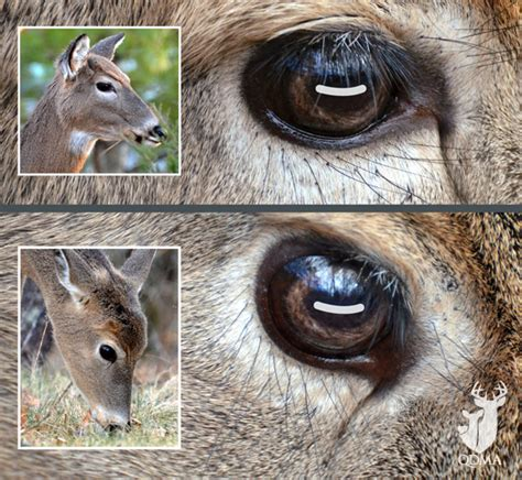do deer see color deer can see you even when they re qdma