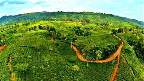 Teh Jawa 6 kebun teh cantik di pulau jawa