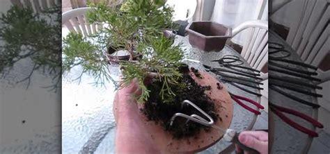 repot  juniper bonsai tree gardening