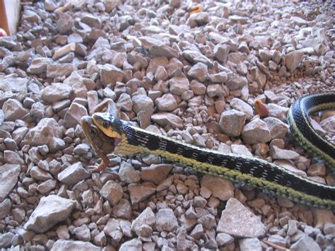 Garden Snake Diet Garter Snake