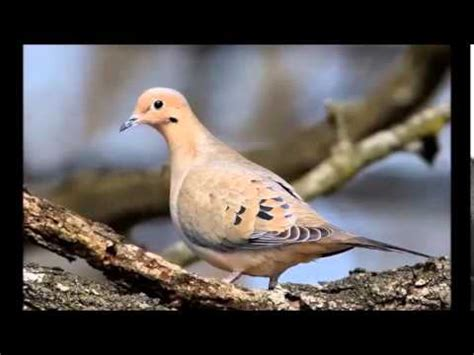 mourning dove sound call cooing youtube