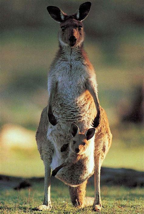 imagenes del canguro jack el tama 241 o de los brazos del canguro su atractivo clave