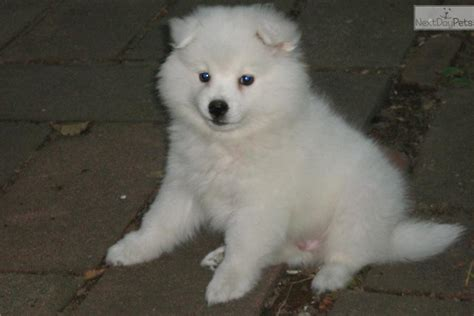 american eskimo puppy for sale american eskimo for sale for 600 near boston massachusetts 4d262a49 6e91