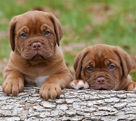 puppy screensavers free puppy wallpaper and screensavers wallpapersafari