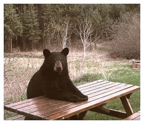 Bear At Picnic Table Meme - bear at picnic table meme 28 images oh hi chad bear