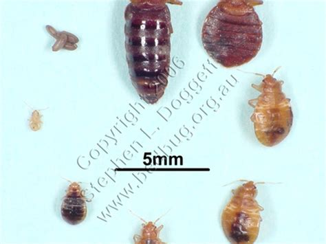 what do bed bugs look like to the human eye standard stair riser height riser and tread standard dimensions tiny house sizes