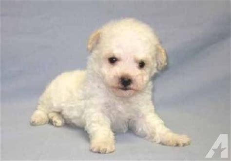 teddy puppies for sale in ky teddy puppy all white breeds picture