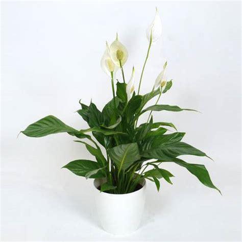 Supérieur Plante D Interieur Sans Lumiere #1: Plante-interieur-spathiphyllum-pot-blanc_FR_500_0010108.jpg