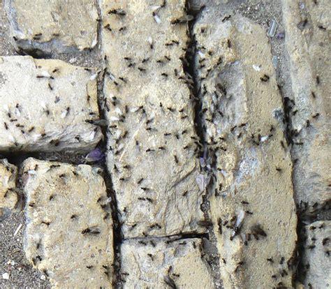 grote zwarte vliegen in huis lastige mieren