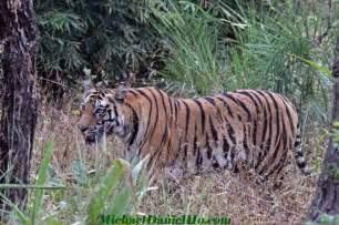 Bengal tiger natural habitat in their natural habitat