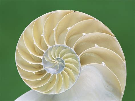 nautilus pattern nature nautilus so this extends from the golden rectangle
