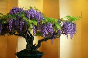 Most Fragrant Lavender Plants - how to grow your own wisteria bonsai