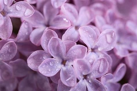 fiori di lilla fiori di piante lilla fiori