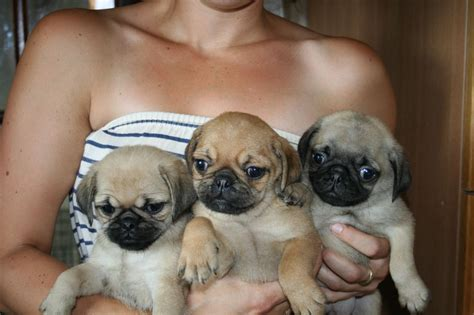 puppy pugs for sale 4 pug puppies for sale dalkeith midlothian pets4homes