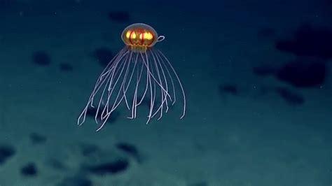la medusa que parece dibujo animado y acecha a 12,000 pies