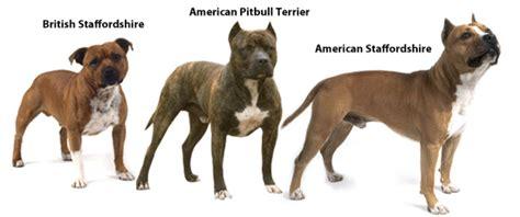pitbull types types of pit bull breeds pets world