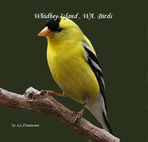 whidbey island wa birds by a l fluesmeier education
