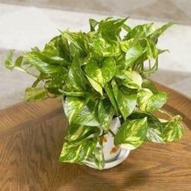 photos pianta da appartamento piante di casa piante da interno pianta da appartamento