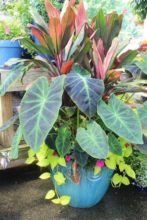 patio planters colocasia and ti or phormium with pink petunia and a lime vine sweet potato