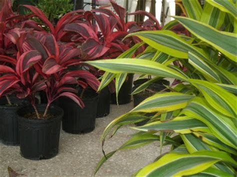 heyplantman exotic tropical plants from st pete fl sat