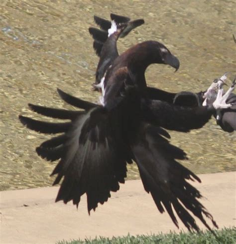 Australian Wedge Tailed Eagle Gives You Some Ideas Of The - the 25 best wedge tailed eagle ideas on eagle
