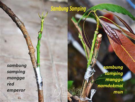 Paket 3 Bibit Buah Mangga Manalagi Okulasi Cepat Berbuah memilih bibit tanaman buah leira buah tropis