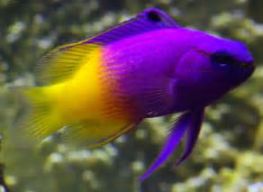 Most Colorful Tropical Fish Pictures to pin on Pinterest