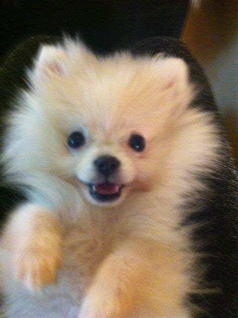 pomeranian potty 17 best images about puppy apartment reviews on potty new