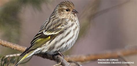 a pine siskin invasion 187 watching backyard birds com